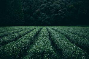Thé vert pour mincir